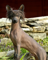 Wells Chinese Crested-7