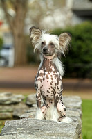 Wells Chinese Crested-12