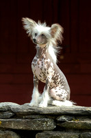 Wells Chinese Crested-10
