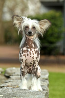 Wells Chinese Crested-11
