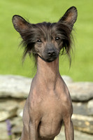 Wells Chinese Crested-3