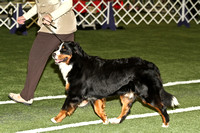 dbuckphoto-saw mill kc-bernese mtn dog-13
