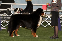 dbuckphoto-saw mill kc-bernese mtn dog-18