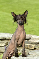 Wells Chinese Crested-1