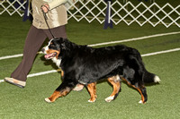 dbuckphoto-saw mill kc-bernese mtn dog-10