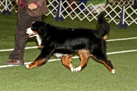 dbuckphoto-saw mill kc-bernese mtn dog-2