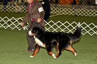 dbuckphoto-saw mill kc-bernese mtn dog-1